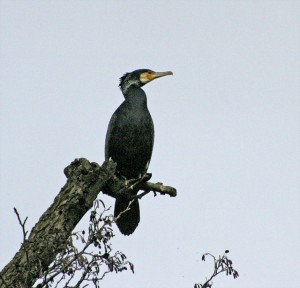 Cormorant sees the future